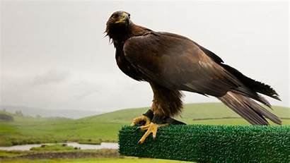 Eagle Golden Background Wallpapers Desktop Animal Wonderful