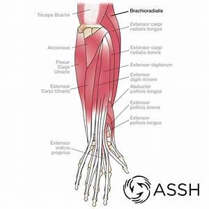 Anatomy 101  Elbow Tendons