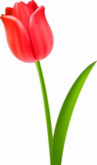 Flower Clipart Tulip Plant Stem Purple Tulips