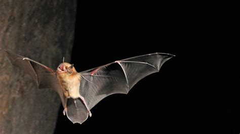 bat conservation project gets a helping hand pacific
