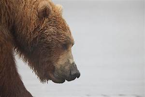 Grizzly Profile : Alaskan Brown Bear (Ursus arctos ...