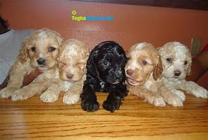 Cockapoo Puppy for sale – Puppies for Sale, Dogs for Sale ...