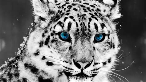 Cool Wallpapers Of Animals - snow leopard hd animal wallpapers pet cool