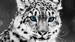 Snow, Leopard, Hd Animal Wallpapers, Pet Love, Cool ...