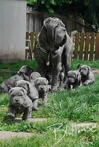 Neapolitan Mastiff — Not In The Dog HouseNot In The Dog House