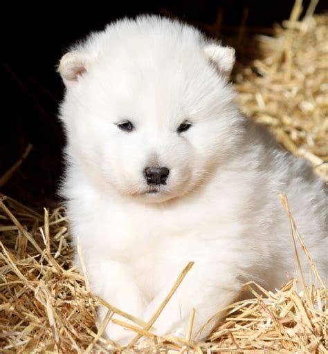 Beautiful White Alaskan Malamute Puppies Photos   Cute ...