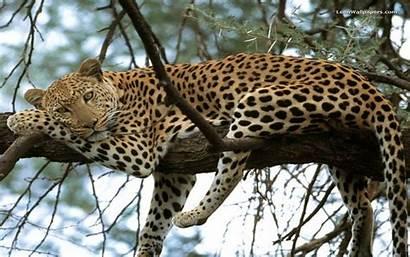 Animal Leopard Around Am