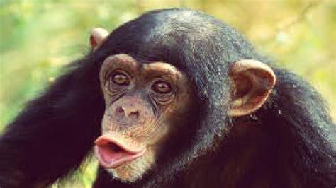 Lindos tiernos graciosos y chistosos monos/chimpancés