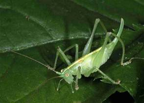 Green Cricket Insect
