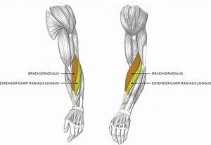 Muscles of the Arm and Hand - Classic Human Anatomy in ...