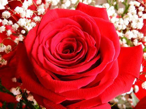 immagine fiore rosa sfondi 65 immagini