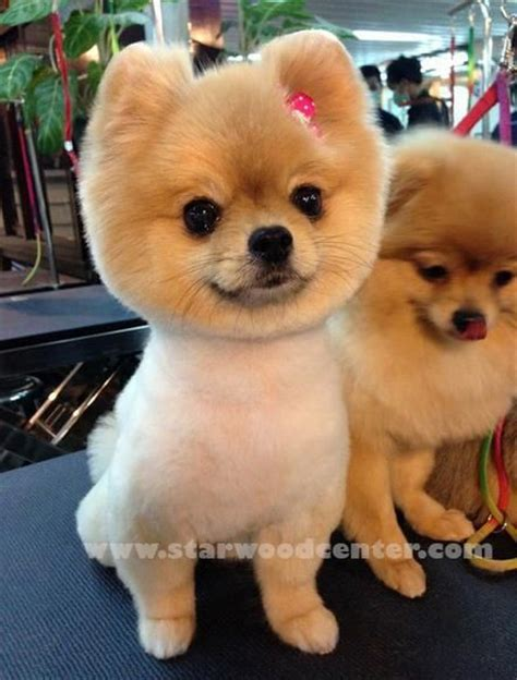 pomeranian boo haircut pomeranian dogs pomeranians and grooming on 4816