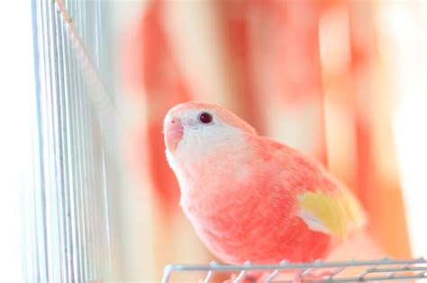 budgie colors pretty bird parakeet colors variation and food choice 2019