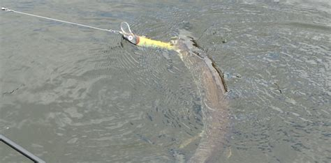 tips  techniques  catching northern pike