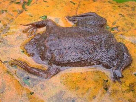 CalPhotos: Pipa pipa; Suriname Toad