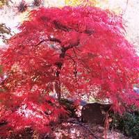 lace leaf maple Lace-Leaf Japanese Maples — Sunnyside Nursery