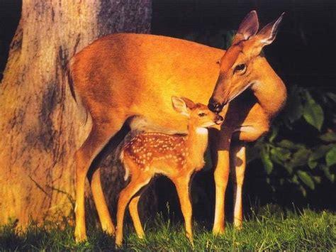 Animal Deer Wallpaper - animals wallpapers beautiful cool wallpapers