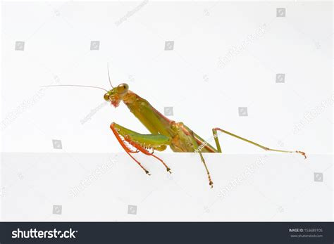 Praying Mantis On White Background Stock Photo 153689105 ...