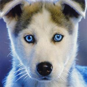 White Husky With Blue Eyes - wallpaper.