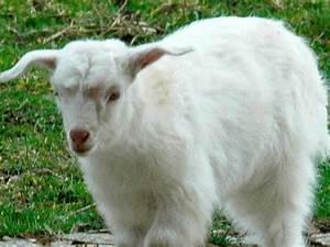 Kaschmir Wolle Tier : bei kaschmirwolle handelt es sich oft um imitate ~ A.2002-acura-tl-radio.info Haus und Dekorationen