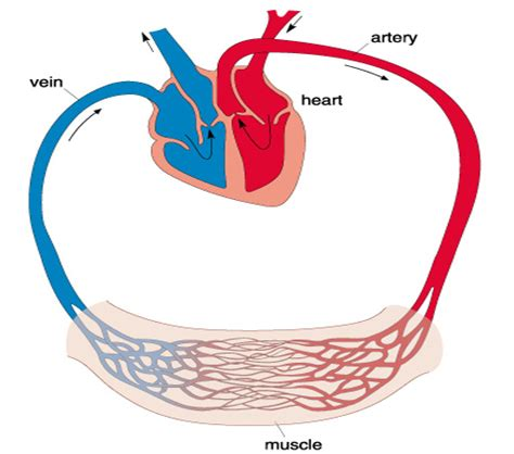 exploring sport  athletes  efficient hearts
