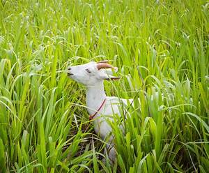 Goat Eating Grass Stock Photo  Image Of Cute  Nature