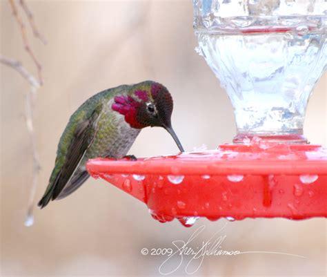 rethinking winter hummingbirds life birds