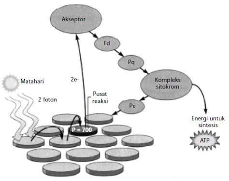 proses fotosintesis gambar proses fotosintesis reaksi