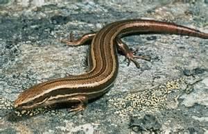 Common Skink Lizard