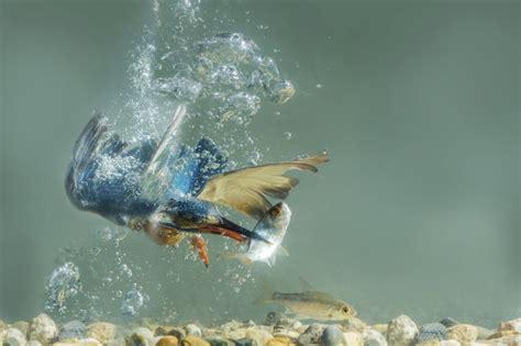 Iemūžināts, kā zivju dzenītis nirst pakaļ mielastam - Skats.lv