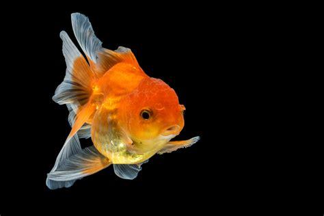 betta   goldfish    aquarium
