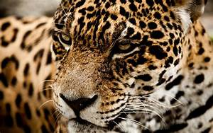 Jaguar wild cat muzzle l wallpaper   2560x1600   166512 ...