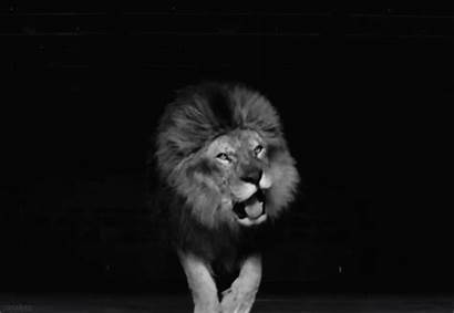 Lion Animated Gifs Lions Animals Cats Fierce