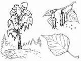 Tree Coloring Birch Trees sketch template