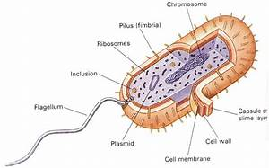 Corkscrew Aspect Of Flagella In E Coli