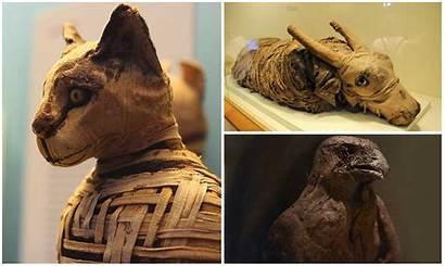 Egipto Momias Animales Antiguo Mundo Supercurioso Tradiciones