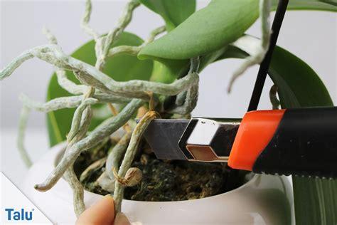 orchideen schneiden orchideen luftwurzeln abschneiden so machen sie es richtig talu de