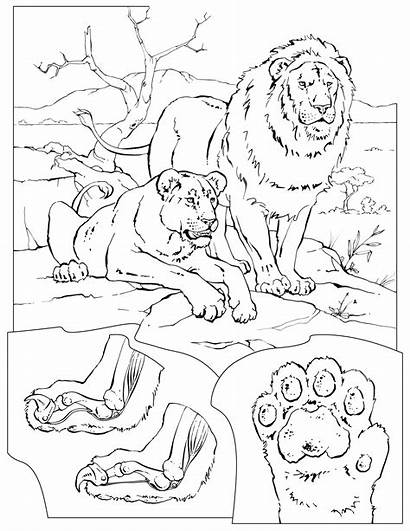 Coloring Pages Lions Lion Pride Tigers Colouring