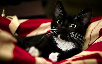 Tuxedo Cats Wallpapers