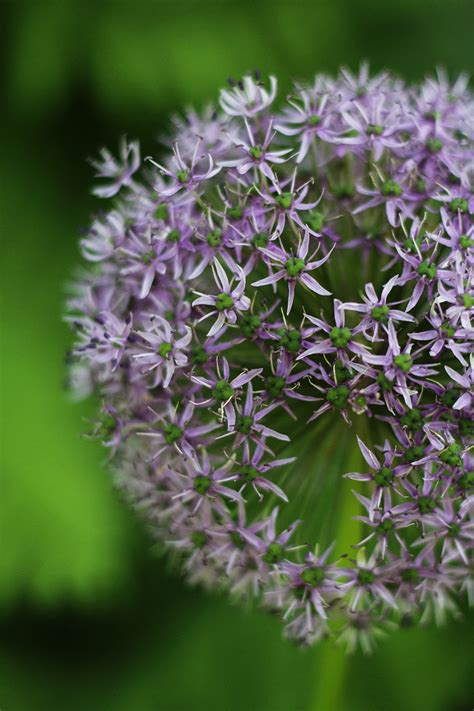 perennials allium