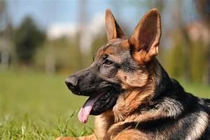 German Shepherd Dog Quotes. QuotesGram