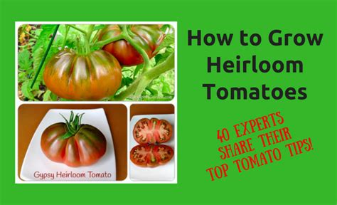 how to grow delicious tomatoes how to grow heirloom tomatoes 40 experts share their top tomato tips back to my garden
