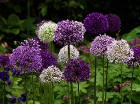 pictures of alliums alliums j m van berkel finest flowers and bulbs