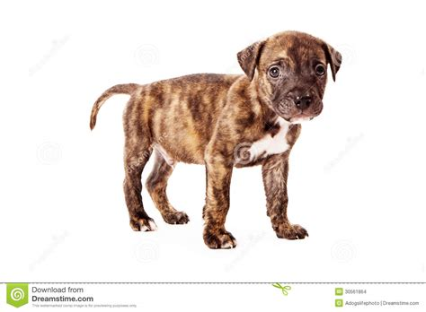 brindle colored puppy stock images image