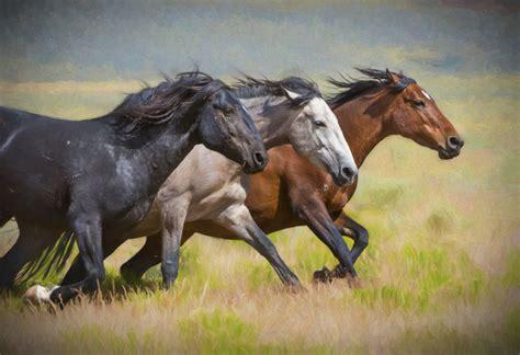 horses wild fine horse photographs herd photograph resolution onaqui utahwildhorses dsc0271 impression edit