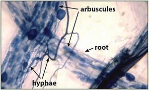 Arbuscular Mycorrhizas - SA | Fact Sheets | soilquality.org.au