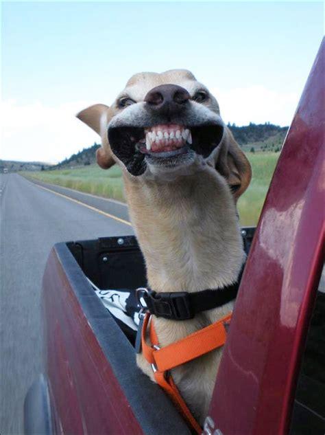perros  aman ir de paseo en automovil