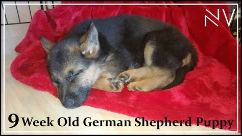 training  week  german shepherd puppy youtube