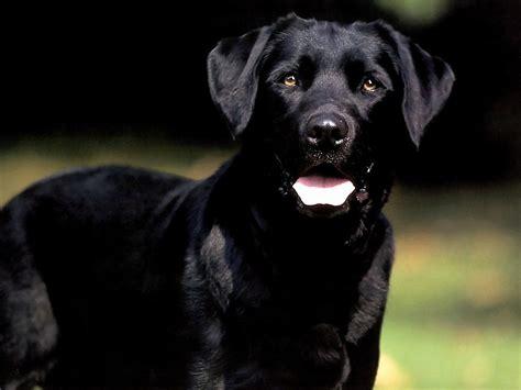 black labrador pictures free