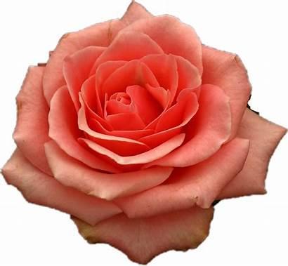 Rose Picsart Sticker Flowers